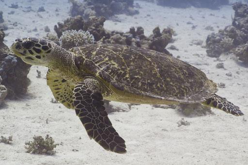 Echte Karettschildkröte / hawksbill sea turtle / Eretmochelys imbricata / Ben El Gebal - Hurghada - Red Sea / Aquarius Diving Club