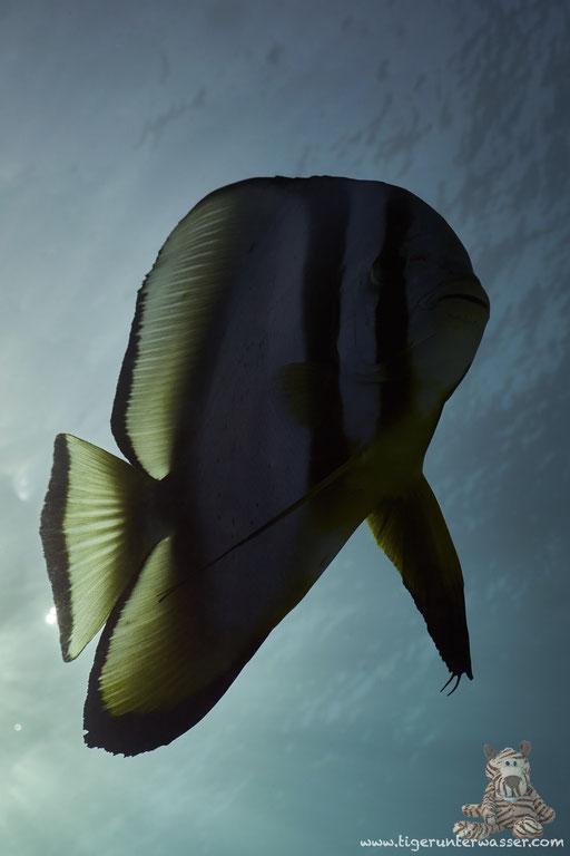 Rundkopf Fledermausfisch / Orbicular batfish / Platax orbicularis / Small Shabaha - Hurghada - Red Sea / Aquarius Diving Club
