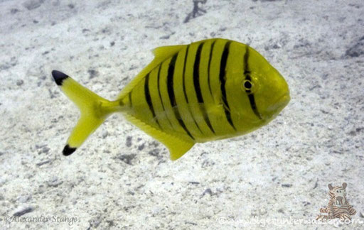 Gold Makrele Juv. / golden trevally / Gnathanodon speciosus Juv. / Fanus Ost - Hurghada - Red Sea / Aquarius Diving Club