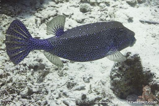 Gelbbrauner Kofferfisch ♂  / yellow boxfish ♂ / Ostracion cubicus ♂ /  Hurghada - Red Sea / Aquarius Diving Club
