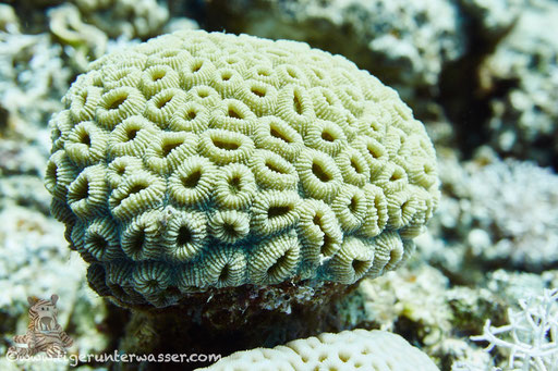 Knopf Sternkoralle / Head coral / Favia favus / Disha - Hurghada - Red Sea / Aquarius Diving Club