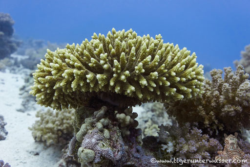 / Carlees Reef - Hurghada - Red Sea / Aquarius Diving Club
