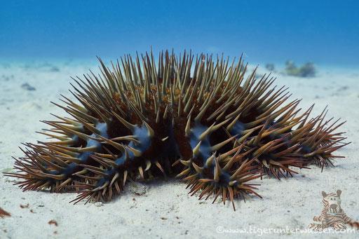 Dornenkrone / crown-of-thorns starfish / Acanthaster planci / Erg Talata - Hurghada - Red Sea / Aquarius Diving Club