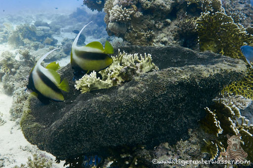 Rotmeer Wimpelfisch / Red Sea bannerfish / Heniochus intermedius / Hurghada - Red Sea / Aquarius Diving Club
