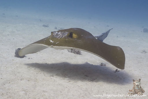 Federschwanz Stechrochen / cowtail stingray / Pastinachus sephen / Fanadir South - Hurghada - Red Sea / Aquarius Diving Club