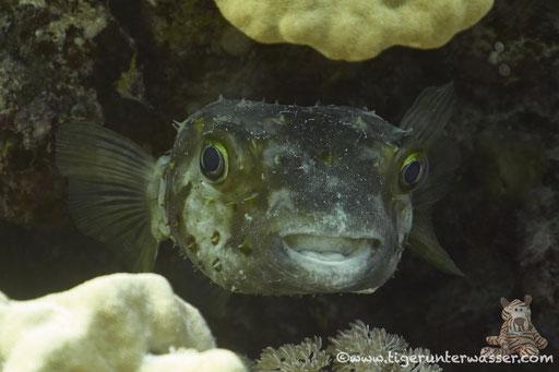 Gelbflecken Igelfisch / Spotbase burrfish / Cyclichthys spilostylus / Ben El Gebal - Hurghada - Red Sea / Aquarius Diving Club