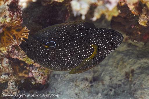 Augenfleck Mirakelbarsch / comet or marine betta / Calloplesiops altivelis / Erg Talata - Hurghda - Red Sea / Aquarius Diving Club