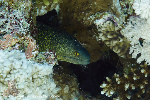 Rußkopfmuräne / yellow-edged moray /Gymnothorax flavimarginatus / Hurgada - Red Sea / Aquarius Diving Club