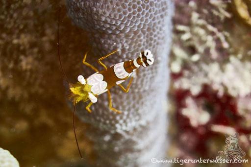 Hohlkreuzgarnele / squat shrimp or sexy shrimp / Thor amboinensis / Fanus Ost - Hurghada - Red Sea / Aquarius Diving Club