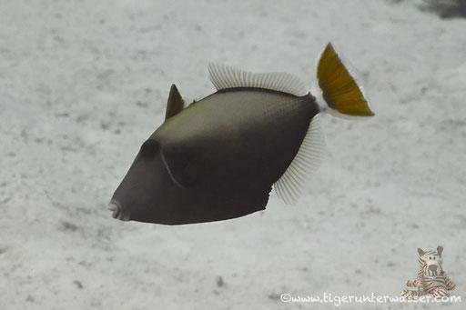 Rotmeer Blaubrustdrücker - Bluethroat triggerfish - Sufflamen albicaudatus / Abu Ramada Süd - Hurghada - Red Sea / Aquarius Diving Club