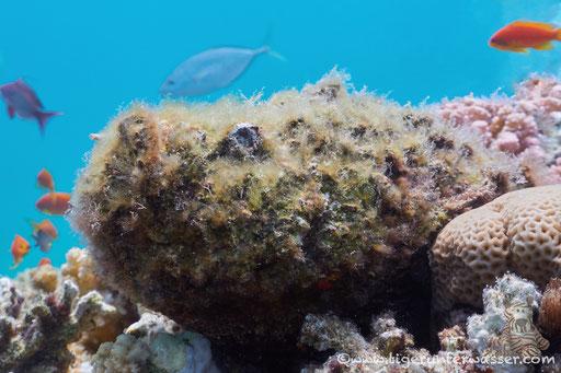 Godda Abu Galawa - Hurghada - Red Sea / Aquarius Diving Club