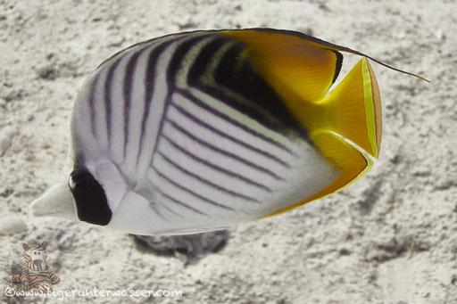 Fähnchen Falterfisch / threadfin butterflyfish / Chaetodon auriga / Hurghada - Red Sea / Aquarius Diving Club