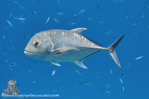 Dickkopf Makrele / giant trevally / Caranx ignobilis /  Banana Reef - Hurghada - Red Sea / Aquarius Diving Club