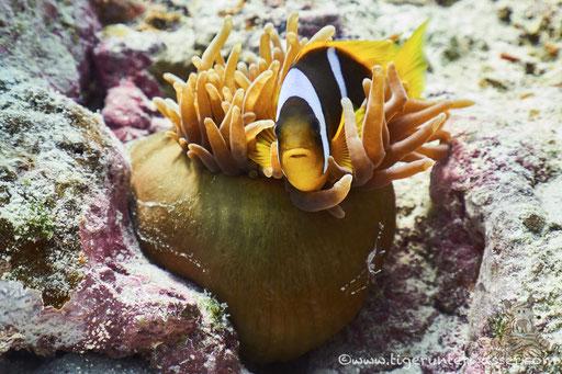 Rotmeer Anemonenfisch / Red Sea (or two-banded) clownfish / anemonefish / Amphiprion bicinctus / Sakhwat  Abu Galawa - Hurghada - Red Sea / Aquarius Diving Club