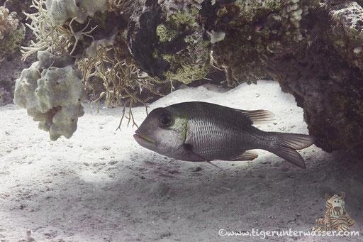 Großaugen Strassenkehrer / bigeye emperor / Monotaxis grandoculis / Abu Ramada Süd - Hurghada - Red Sea / Aquarius Diving Club
