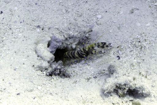 Djibouti Knallkrebs / Djibouti snapping shrimp / Alpheus djiboutensis / Erg Estha - Hurghada - Red Sea / Aquarius Diving Club