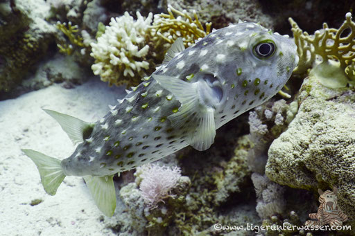 Gelbflecken Igelfisch / Spotbase burrfish / Cyclichthys spilostylus / Small Giftun - Hurghada - Red Sea / Aquarius Diving Club