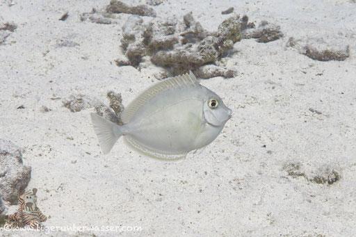 Juv. Blauklinken Nasendoktor / juv. bluespine unicornfish or short-nose unicornfish / Naso unicornis / Erg Estha - Hirghada - Red Sea / Aquarius Diving Club