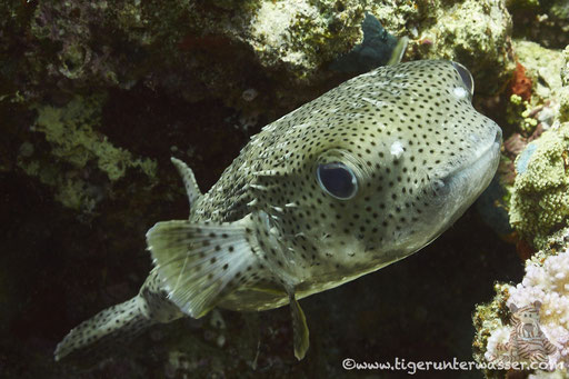 Gepunkteter Igelfisch / Spotted Porcupinefish / Diodon hystrix / Small Giftun - Hurghada - Red Sea / Aquarius Diving Club