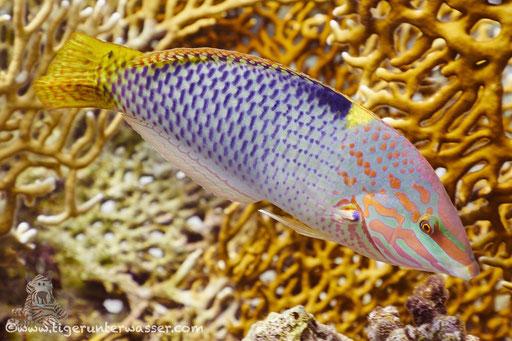 Schachbrett Junker Juv. / checkerboard wrasse / Halichoeres hortulanus / Godda Abu Ramada East - Hurghada - Red Sea / Aquarius Diving Club