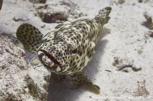 Rostflecken Zackenbarsch / greasy grouper or Arabian grouper / Epinephelus tauvina / - Hurghada - Red Sea / Aquarius Diving Club