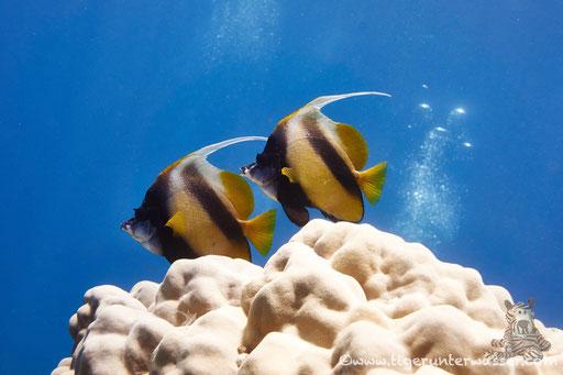 Rotmeer Wimpelfisch / Red Sea bannerfish / Heniochus intermedius / Godda Abu Ramada East/West - Hurghada - Red Sea / Aquarius Diving Club