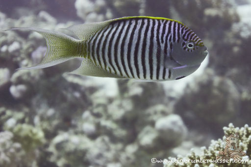 Rotmeer Lyrakaiser / Zebra angelfish m. / Genicanthus caudovittatus / Umm Kamar - Hurghada - Red Sea / Aquarius Diving Club