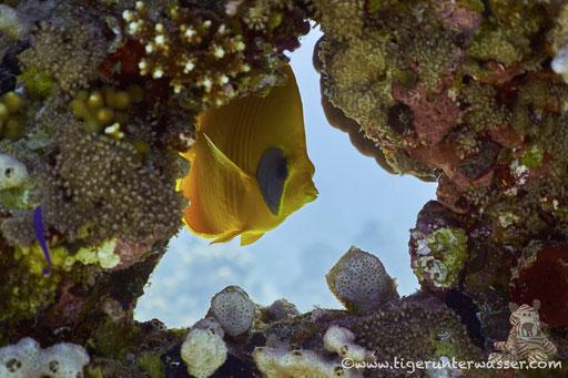 Masken Falterfisch / blue-cheeked butterflyfish / Chaetodon semilarvatus / Godda Abu Ramada West -Hurghada - Red Sea / Aquarius Diving Club