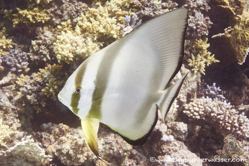 Rundkopf Fledermausfisch / Orbicular batfish / Platax orbicularis / Erg Talata - Hurghada - Red Sea / Aquarius Diving Club