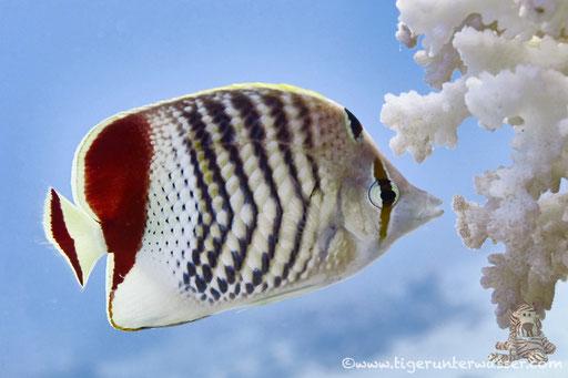 Rotmeer Winkelfalterfisch / Eritrean Butterflyfish / Chaetodon paucifasciatus / Godda Abu Ramada East/West - Hurghada - Red Sea / Aquarius Diving Club
