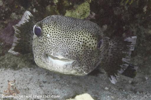 Gepunkteter Igelfisch / Spotted Porcupinefish / Diodon hystrix / Erruogh - Hurghada - Red Sea / Aquarius Diving Club