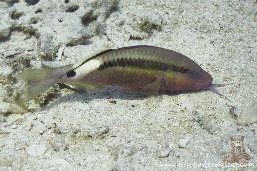 Kurzstreifen Barbe / Band dot goatfish / Parupeneus macronema / Godda Abu Ramada West - Hurghada - Red Sea / Aquarius Diving Club