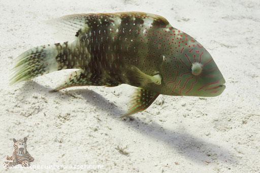 Abudjubbes Lippfisch - Abudjubbe wrasse - Cheilinus abudjubbe / Hurghada - Red Sea / Aquarius Diving Club