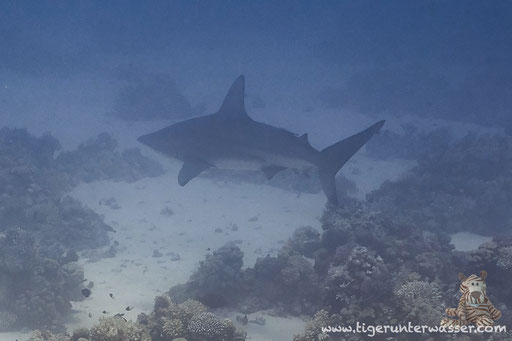 Tigerhai - Tiger Shark - Galeocerdo cuvier / Godda Abu Ramada East - Hurghada - Red Sea / Aquarius Diving Club