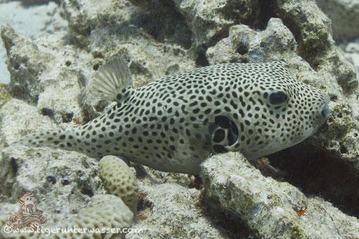 Riesen Kugelfisch / starry puffer / Arothron stellatus / Abu Ramada Süd - Hurghada - Red Sea / Aquarius Diving Club