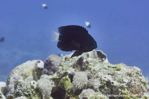 Nebelschwanz-Demoiselle - Reticulated Damsel - Pomacentrus trichrourus / Hurghada - Red Sea / Aquarius Diving Club