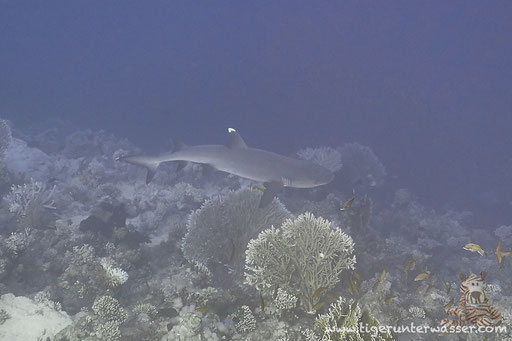 Weißspitzen Riffhai / Whitetip Reef Shark / Triaenodon obesus / Shaab Sabina - Hurghada - Red Sea / Aquarius Diving Club