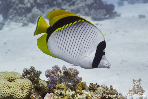 Fähnchen Falterfisch / threadfin butterflyfish / Chaetodon auriga / Abu Ramada Süd - Hurghada - Red Sea / Aquarius Diving Club
