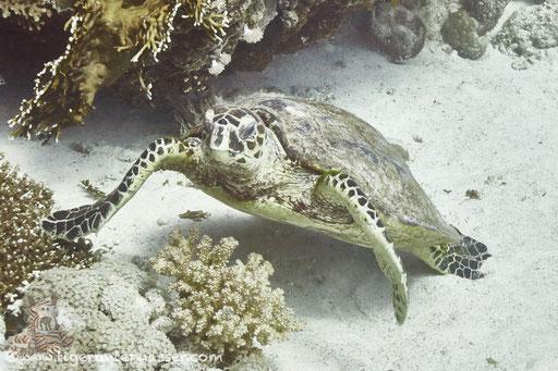 Echte Karettschildkröte / hawksbill sea turtle / Eretmochelys imbricata / Small Giftun - Hurghada - Red Sea / Aquarius Diving Club