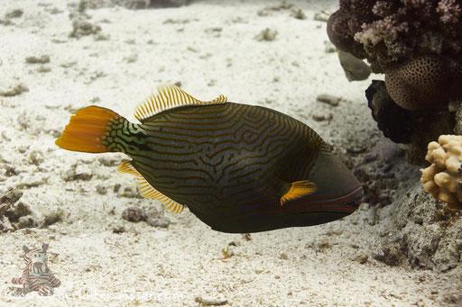 Orangenstreifen Drückerfisch / orange-striped triggerfish / Balistapus undulatus / Godda Abu Ramada East/West - Hurghada - Red Sea / Aquarius Diving Club