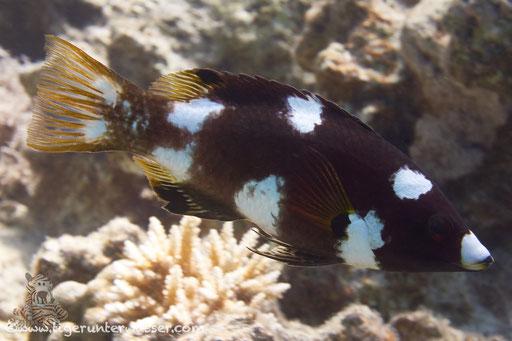 Achselfleck Schweinslippfisch juv. / Axilspot hogfish / Bodianus axillaris / Fanadir Süd - Hurghada - Red Sea / Aquarius Diving Club