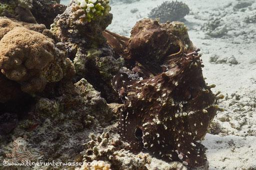 Roter Krake / common reef octopus or big blue octopus / Octopus cyaneus / Fanadir Süd - Hurghada - Red Sea / Aquarius Diving Club