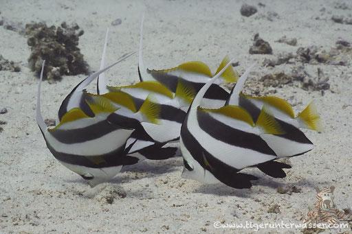 Schwarm Wimpelfisch / Schooling Bannerfish / Heniochus diphreutes / Fanadir Nord - Hurghada - Red Sea / Aquarius Diving Club
