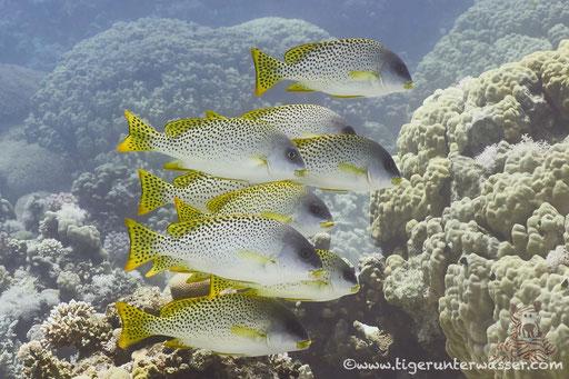 Schwarztupfen Süßlippe - Black-Spotted Rubberlips - Plectorhinchus gaterinus / Godda Abu Ramada East/West - Hurghada - Red Sea / Aquarius Diving Club