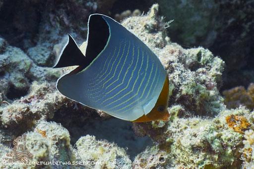 Rotkopf-Falterfisch / Orangeface Butterflyfish / Chaetodon larvatus / Marsa Abu Galawa - Hurghada - Red Sea / Aquarius Diving Club