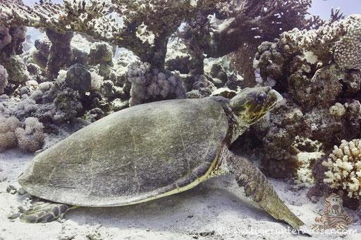 Echte Karettschildkröte / hawksbill sea turtle / Eretmochelys imbricata / Saab Sabina - Hurghada - Red Sea / Aquarius Diving Club