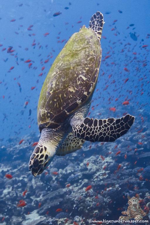 Echte Karettschildkröte / hawksbill sea turtle / Eretmochelys imbricata / Habili Gafar - St.Johns - Red Sea / Vita Xplorer