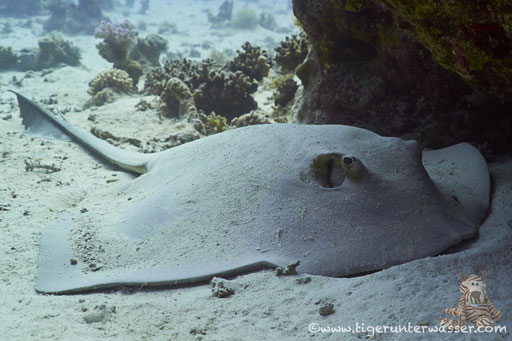 Federschwanz Stechrochen / cowtail stingray / Pastinachus sephen / Ben El Gebal - Hurghada - Red Sea / Aquarius Diving Club