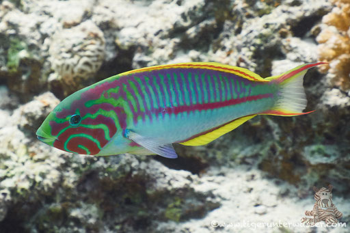 Rotmeer Junker / Klunzinger's wrasse / Thalassoma rueppellii / Marsa Abu Galawa - Hurghada - Red Sea / Aquarius Diving Club