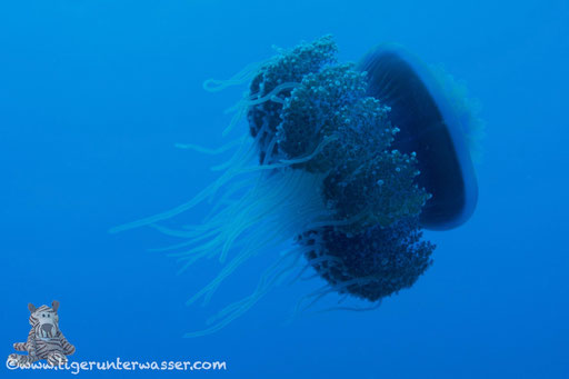Blaue Wurzelmundqualle /  cauliflower jellyfish / Cephea cephea / Hurghada - Red Sea / Aquarius Diving Club
